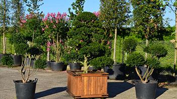 Bonsais de jardin - Niwaki