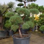 Pin Sylvestre bonsaï. Hauteur: 2,5m