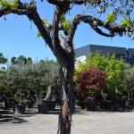Vigne vieux tronc Hauteur 2m (Age 50 ans)