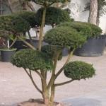 Bonsaï (Taxus Baccata 35 ans)
