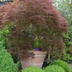 Acer Palmatum Pleureur (variété Paul Garnet)