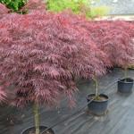 Acer Palmatum Pleureur (Paul Garnet)