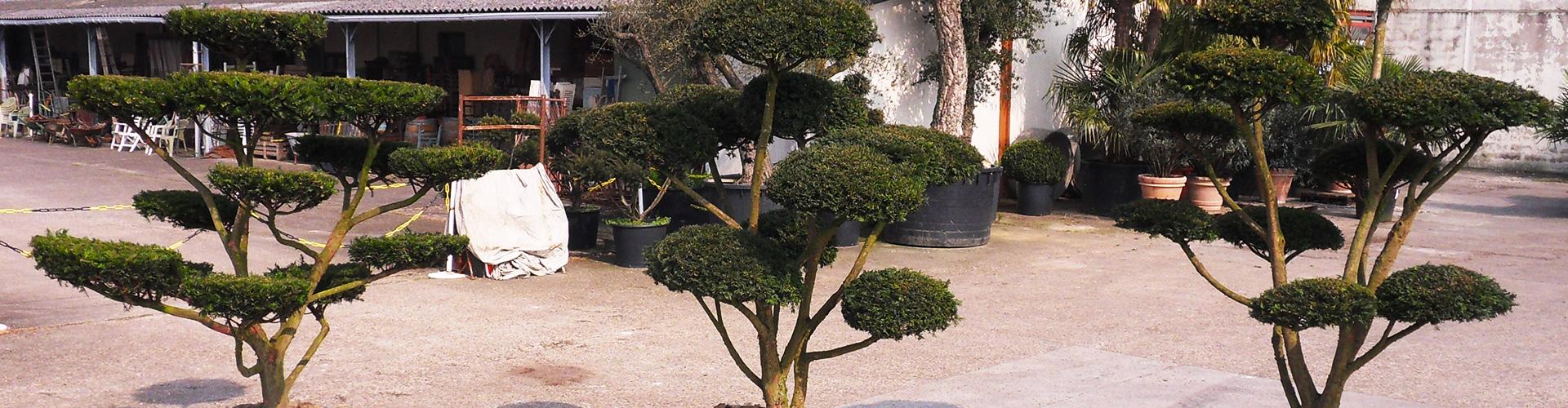 Bonsaïs de Jardin dans votre pépinière à Azay-sur-Cher